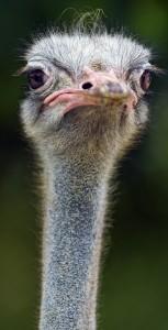 Long neck ostrich